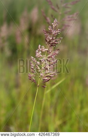Bent Grass Also Known As Bentgrass Or Colonial Bent Or Agrostis Capillaris In The Filed Close - Up V