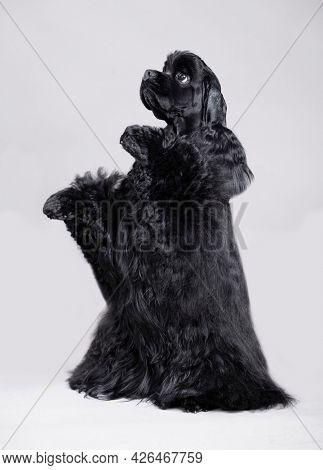 American cocker spaniel on grey background