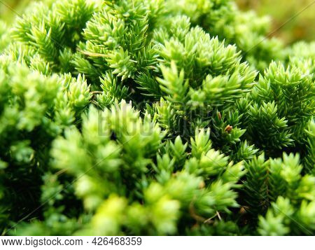 Branch Of A Green Lush Coniferous Tree With Sunlight. Close Up Shot Of A Green Pine Needles With Sel