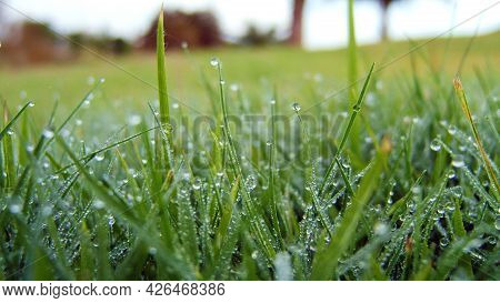 Dew Drops On The Grass In The Morning.  Close Up Of A Green Grass With Dew Drops On. Macro Shot Of G