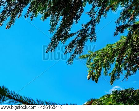 Spruce Tree Branch With Green Cones Against The Blue Sky. Coniferous Forest. Spruce Cones. Coniferou