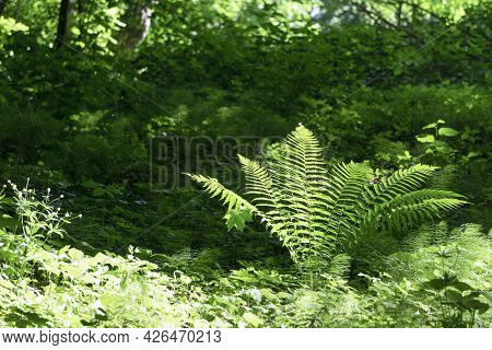 Fern In Tropical Jungle Background. Fern Leaves With A Plant Pattern. Natural Plant Tropical Backgro