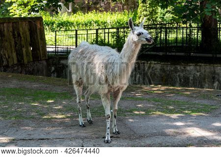 A Llama In The Zoo In The City Of Kaliningrad.
