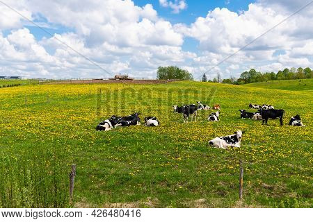 Black And White Cows In A Green Grassy Field On A Bright And Sunny Day. Cows Lying On Green Grass.ru