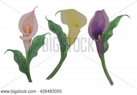 Bunches Of Calla Flower Blossom Illustration Watercolor Painting, Pink, Yellow And Violet Petals Wit