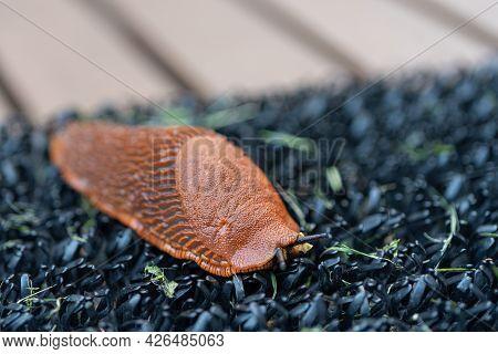 Arion lusitanicus - a species of terrestrial gastropod molluscs Snails lacking a shell, a slug. Repr