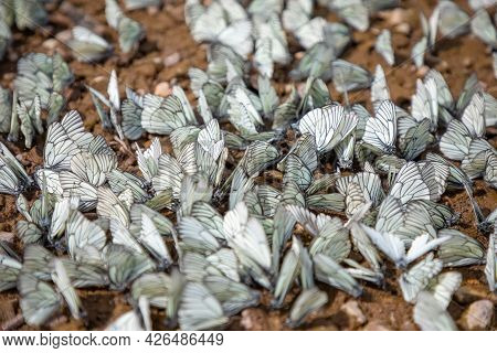 Group Of Black-veined White Butterfly Or Aporia Crataegi In Siberia, Russia
