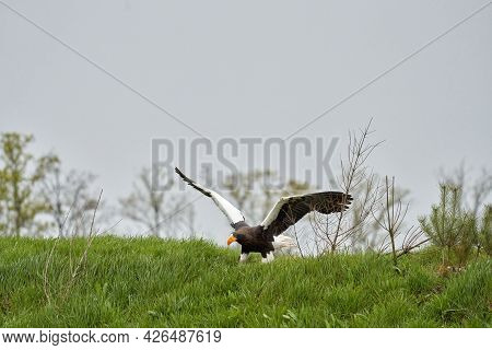 Close-up Of A Steller's Sea Eagle. The Bird Of Prey Lands With Outspread Wings On Grass. Against The