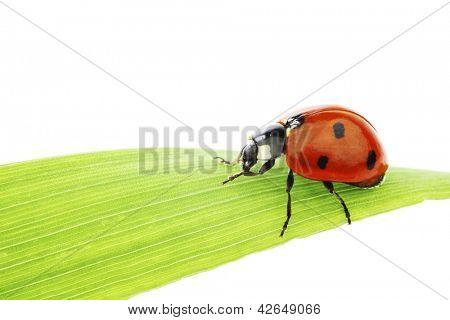ladybug on green grass isolated white background