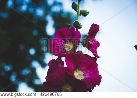 Pink Flowers Mallow On A Background Of Blue Sky.
