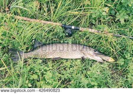Pike And Spinning Rod With Baitcasting Reel On Grass. Esox Lucius