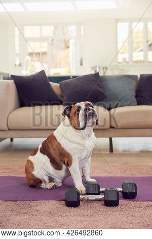 Pet English Bulldog Sitting By Exercise Mat And Hand Weights At Home