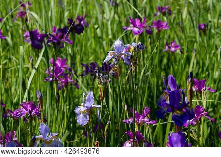 Floral Background Of Irises Of Different Colors In The Garden