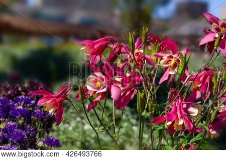 Perennial Herbaceous Plant Aquilegia, Columbine With Purple Flowers In The Garden On A Blurred Backg