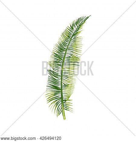 Palm Green Fresh Coconut Leaf. Vintage Vector Hatching Color Hand Drawn Illustration Isolated On Whi