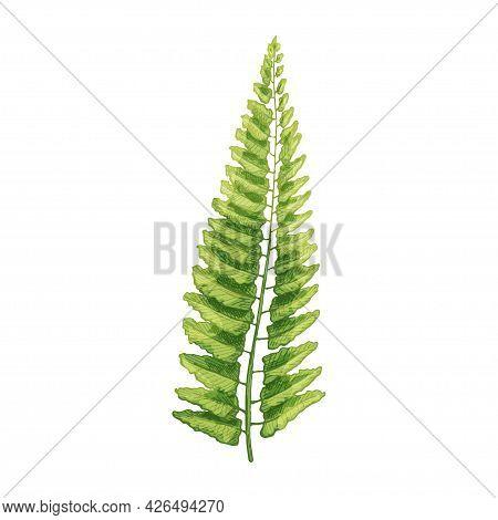 Green Fresh Fern Leaf. Vintage Vector Hatching Color Hand Drawn Illustration Isolated On White Backg