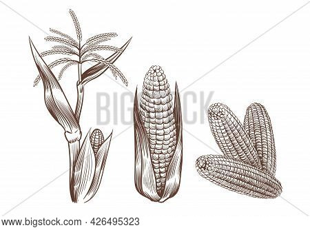 Hand Drawn Vintage Corn. Cereal Plants Sketch Drawing. Agriculture Harvest. Maize Cobs, Stalk With L