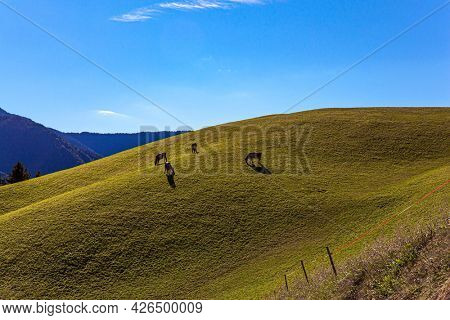 Green grassy mountain slope. A small herd of cows grazing on the grass. Dolomites on a sunny autumn day. Europe, Val de Funes