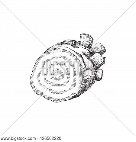 Beetroot Cut In Half, Engraving Vintage Vector Illustration Isolated On White.