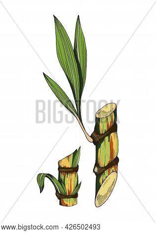 Part Of Sugar Cane Plant Stem With Leaves A Color Vector Sketch Illustration.