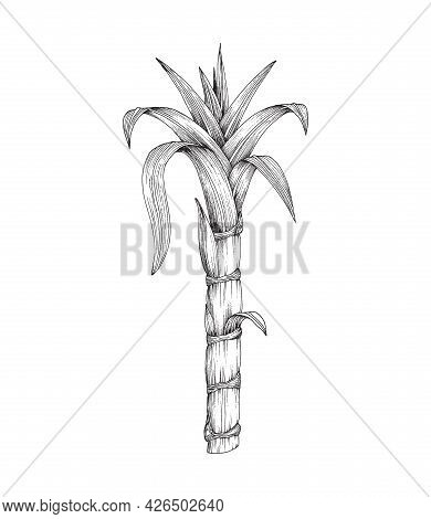 Sugar Cane Plant Stem With Leaves, Tropical Plant, Natural Sweetener For Food.