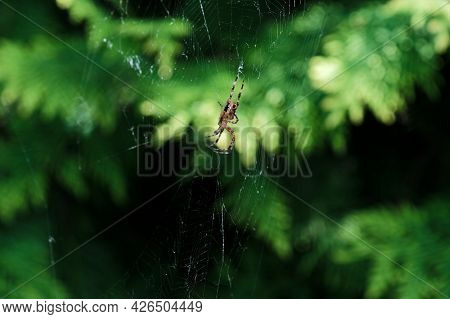 The Spider Sits In A Web And Waits For Its Prey. Spider Build A Web To Trap Different Insects.