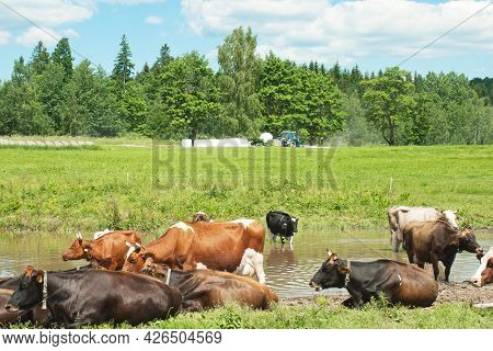 The Cows Are Resting In The Meadow. Farmland During Agricultural Work And Harvesting Hay Bales For L