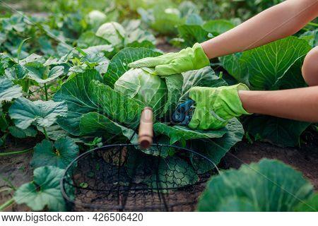 Gardener Picking Cabbage In Summer Garden, Cutting It With Pruner And Putting Vegetable Crop In Bask