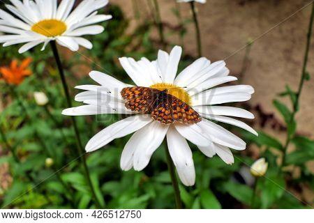 Heath Fritillary Butterfly (mellicta Athalia) Feeding On The Pollen Of A Leucanthemum Flower