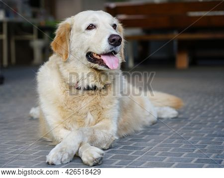Friendly Young Golden Retriever Dog Pet Home, Stick Out The Tongue And Cross Legs To Enjoy Relaxing