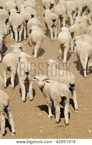 Sheep, West Texas, US