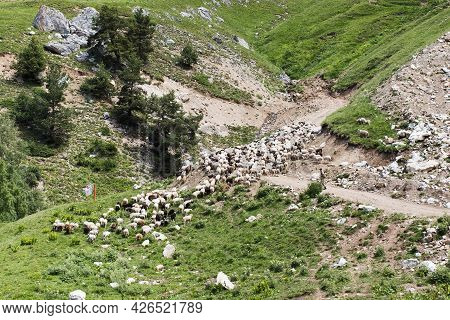 A Flock Of Sheep On A Pasture In The Mountains, Free-range Animals Raised.