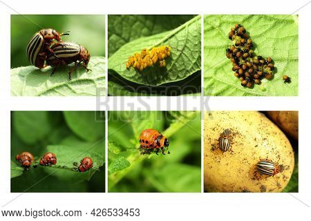 Collage With Different Photos Of Colorado Potato Beetles On Green Leaves
