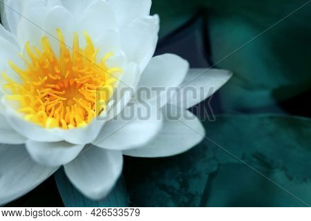 Closeup View Of Beautiful Lotus On Water, Symbolic Flower In Buddhism. Indian Religion