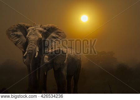 African Bush Elephant Female In Sunset Scenery In Kruger National Park, South Africa ; Specie Loxodo