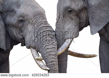 Close-up Of Two African Bush Elephant Head Bonding In Kruger National Park, South Africa ; Specie Lo