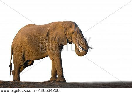 African Bush Elephant Isolated In White Background In Kruger National Park, South Africa ; Specie Lo