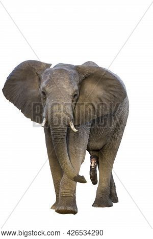 African Bush Elephant Front View Isolated In White Background In Kruger National Park, South Africa