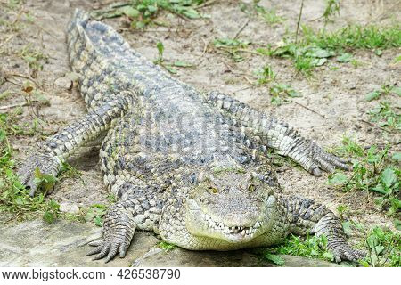 A Large Siamese Crocodile Is Lying On The Shore