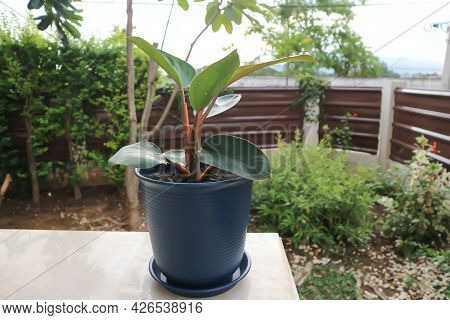 Philodendron Rojo Congo, Philodendron Red Congo Or Philodendron Or Philo