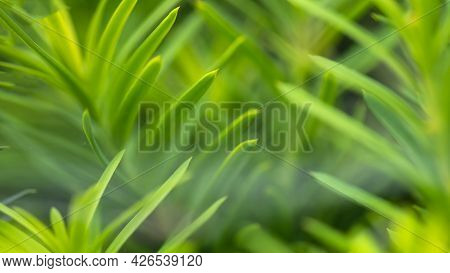 Nature Abstract; The Soft Green Needles Of A Springtime Evergreen