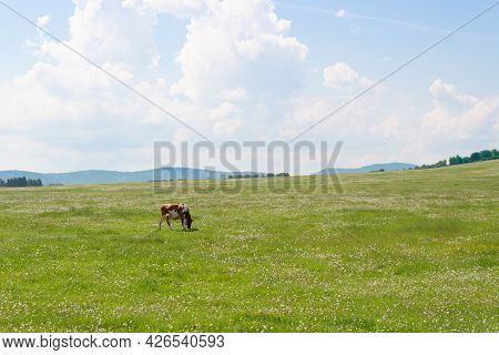 Summer Landscape With A Cow Grazing On A Green Meadow