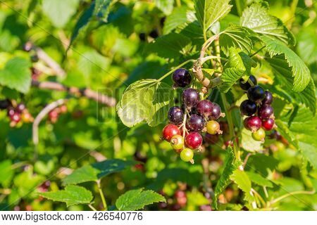 Black Currant On Branch In Fruits Garden In Sunny Summer. Sunlight On Black And Green Berries On The