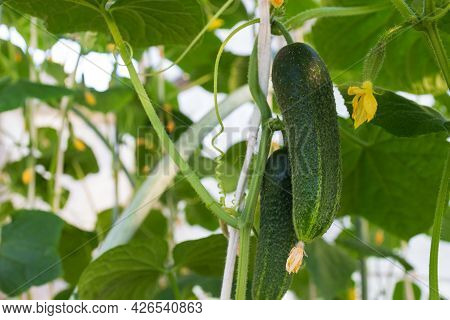 Growing Cucumbers On A Branch In The Greenhouse. Close-up, Selective Focus