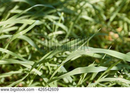 Close-up Long Wild Meadow Summer Grass Selective Focus.