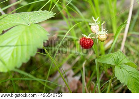 Sweet Red Ripe Wild Strawberries In A Summer Meadow