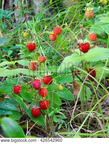 Summer Forest Glade With Ripe Red Wild Strawberries. A Fragrant Healthy Wild Berry With A High Conte