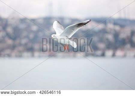 A Flying Seagull With Open Wings. A Seagull Fly Freedom In The Sky. Seagull On The Bosporus Strait.