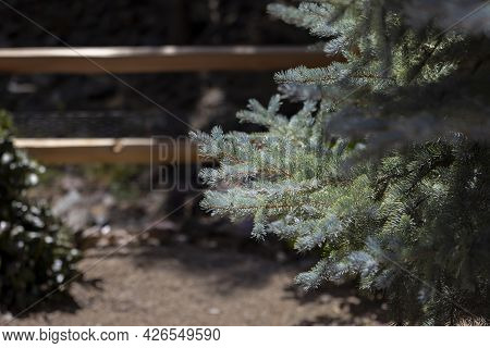 Sunlight Hitting And Glimmering On Branches Of A Blue Spruce Pine Tree In Prescott Arizona