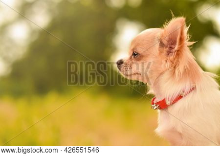 Close-up Of Chihuahua Puppy, Looking To The Side, Outdoors.